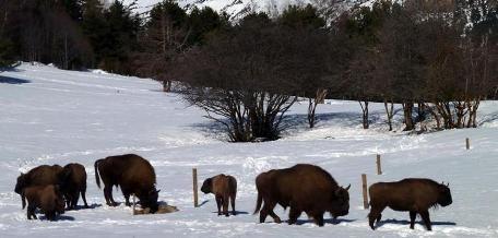 Bisontes en Lacuniacha. Foto propiedad de Lacuniacha.